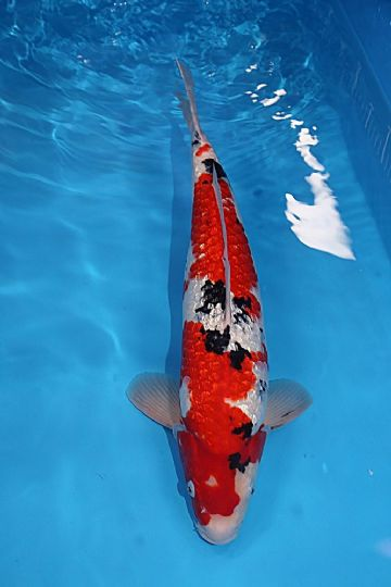 "Sanke-Koi For Sale 18"" 7570"